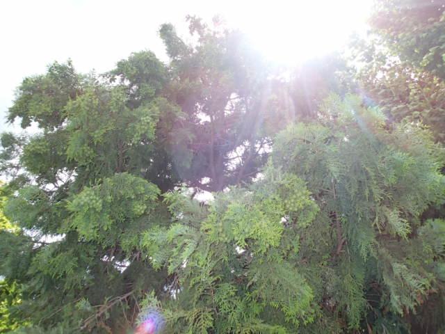 カラス駆除事例 樹木 巣の撤去3