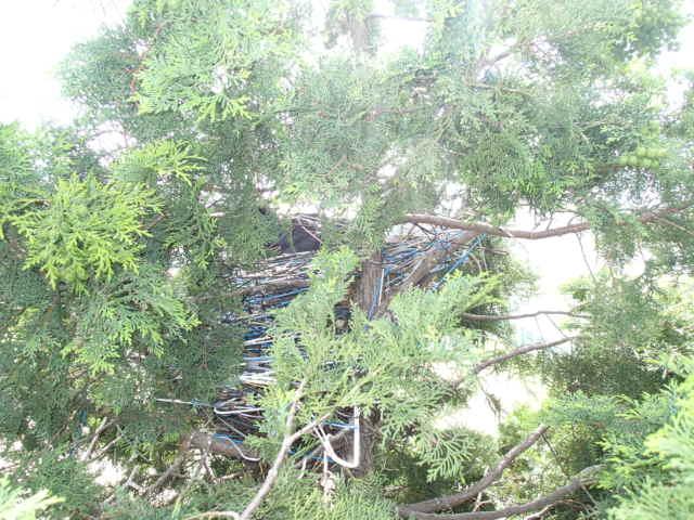 カラス駆除事例 樹木 巣の撤去4