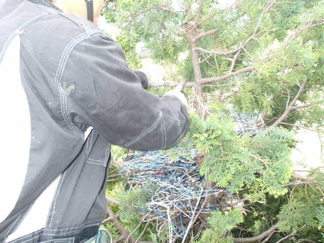 カラス駆除事例 樹木 巣の撤去6