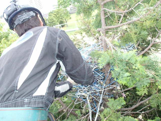 カラス駆除事例 樹木 巣の撤去7