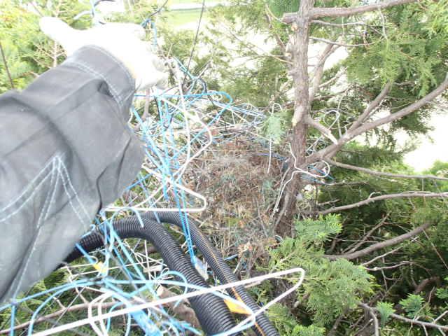 カラス駆除事例 樹木 巣の撤去8