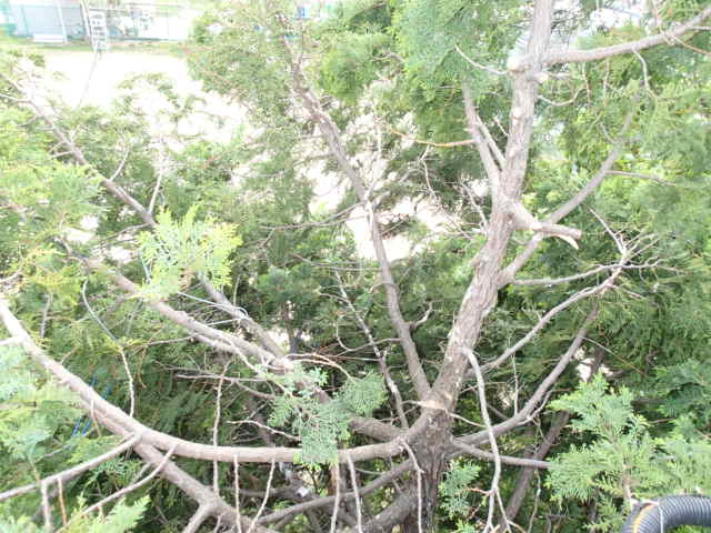 カラス駆除事例 樹木 巣の撤去10