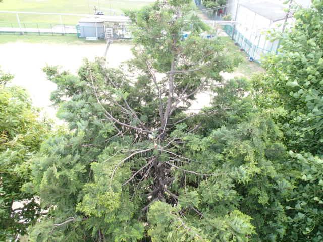 カラス駆除事例 樹木 巣の撤去12
