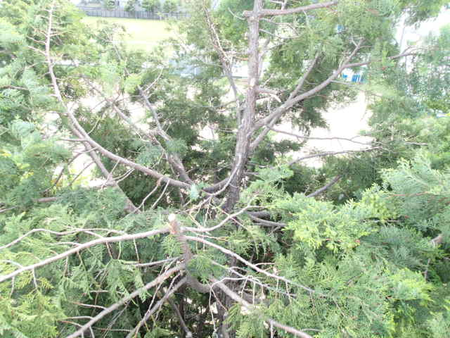 カラス駆除事例 樹木 巣の撤去13