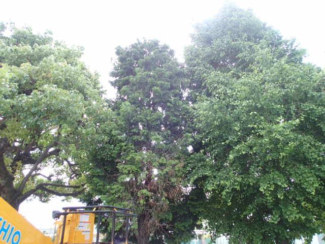 カラス駆除事例 樹木 巣の撤去2