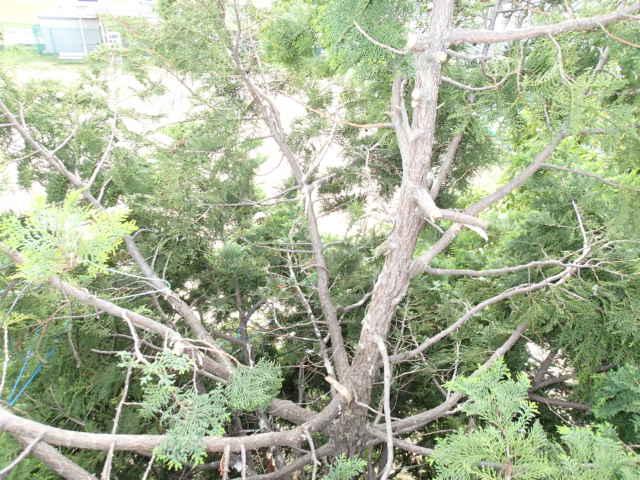 カラス駆除事例 樹木 巣の撤去9